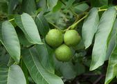 Green unripe fruits of walnut tree — Stock Photo