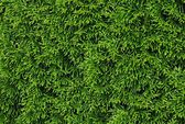 Green leaves of thuja coniferous tree as background — Stock Photo