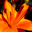 Orange lily — Stock Photo #29896223