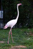 Flamingo african birds — Stock Photo