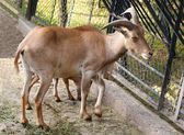 Wild african sheep ARUI — Stock Photo