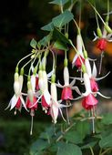 Red and white flowers of fuchsia — Stock Photo