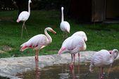 Wild water birds flamingo — Stock Photo