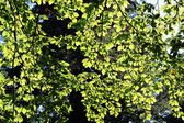 Leaves of beech tree in forest against sunshine — Stock Photo