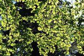 Blätter der Rotbuche im Wald gegen Sonnenschein — Stockfoto