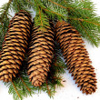 Spruce tree and cones — Stock Photo