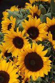 ładny słoneczniki w lecie — Zdjęcie stockowe