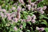 Mint herb with lila flowers close up — Foto Stock