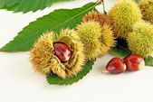 Brown,ripe nuts of sweet chestnut tree and green leaves — Foto Stock