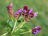 Lila flowers of selfheal plant — Stock Photo
