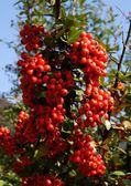 Red berries of ornamental bush in garden — Stock Photo