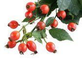 Red fruits of wild rose bush — Stock Photo