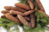 Cones of spruce tree — Stockfoto