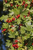 Thicket hawthorn tree with red berries — Stock Photo