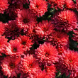 Red flowers of chrysanthemum pot-plant close up — Stock Photo