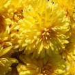 Yellow flowers of chrysanthemum pot-plant at autumn — Stock Photo