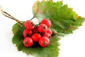 Red berries of thicket hawthorn bush at autumn — Stock Photo