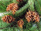 Coniferous tree and cones — Stock Photo