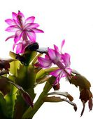 Christmas cactus blossoming with pink flowers — Stock Photo