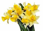 Posy of yellow daffodils — Stock Photo