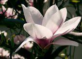 Flores del árbol de magnolia en primavera — Foto de Stock