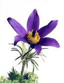Lila pasque-flower — Stock Photo