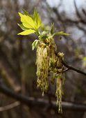 Box Elder tree in blossom — Stock Photo