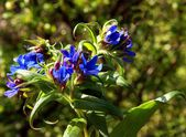 Blue flowers of corn gromwel plant — Stock Photo