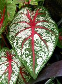 Ornamental white ,red and green leaf of Caladium hybridum plant — Stock Photo