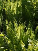 Green ferns in forest — Stock Photo