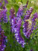 Lila flowers of vetch — Fotografia Stock