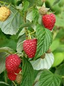 Raspberries on shrub — Stock Photo