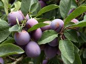 Lila ripe plums in an orchard — Stock Photo