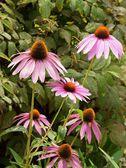 Pink flowers of Echinacea purpurea — Stock Photo