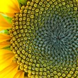 Macro of sunflower — Stock Photo