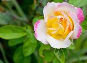Schöne rosa rose in einem garten — Stockfoto