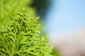 Close up Leaf pine — Stock Photo