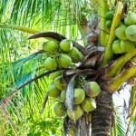 Coconut Tree — Stock Photo #36282173