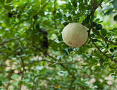 Closeup de madeira-apple ou makwid na árvore — Fotografia Stock