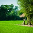 Landscape of farm rice location of thailand — Stock Photo