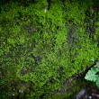 Macro of green moss in nature — Stock Photo