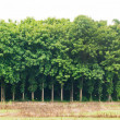 Stock Photo: Panoramof teak tree landscape
