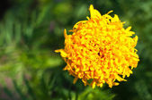 Yellow marigold flower closeup detail — Stok fotoğraf