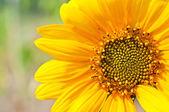 Macro of Sunflower Detail — Stock Photo