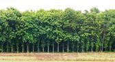 Panorama of teak tree landscape — Stock Photo