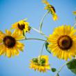 Sun flower closeup and blue sky — Stock Photo