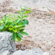 Yang tree on the stone — Stock Photo