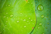 Water drops on Green lotus leaf — Stock Photo
