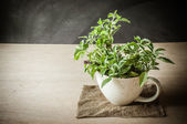Holy Basil in the cup — Stock Photo