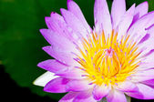 Violet of Water Lily Flower Closeup — Photo